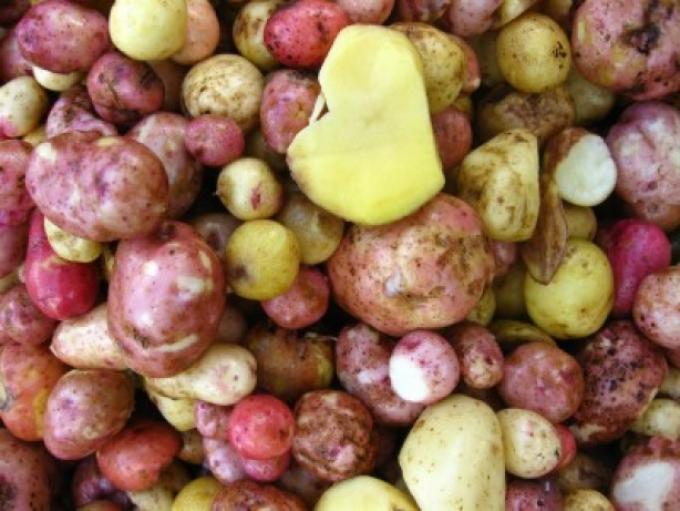 Viva el patata seronet - Pomme de terre germee comestible ...